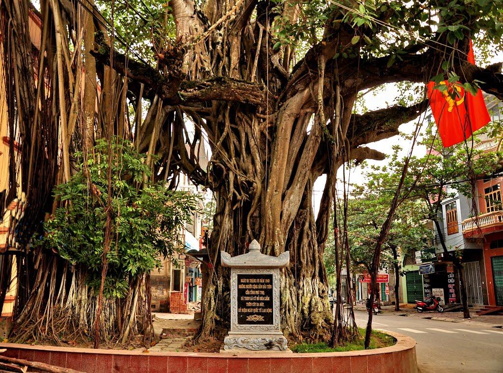 Cây đa lịch sử tại thị xã Phú Thọ