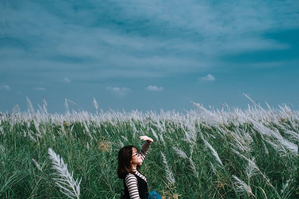 Cánh đồng cỏ lau tại thị xã Phú Thọ