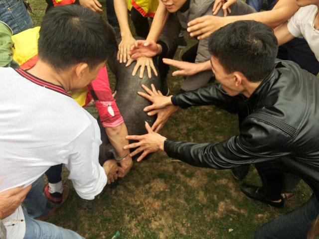 Lễ hội bắt lợn ông Cầu tại xã Hà Thạch, thị xã Phú Thọ