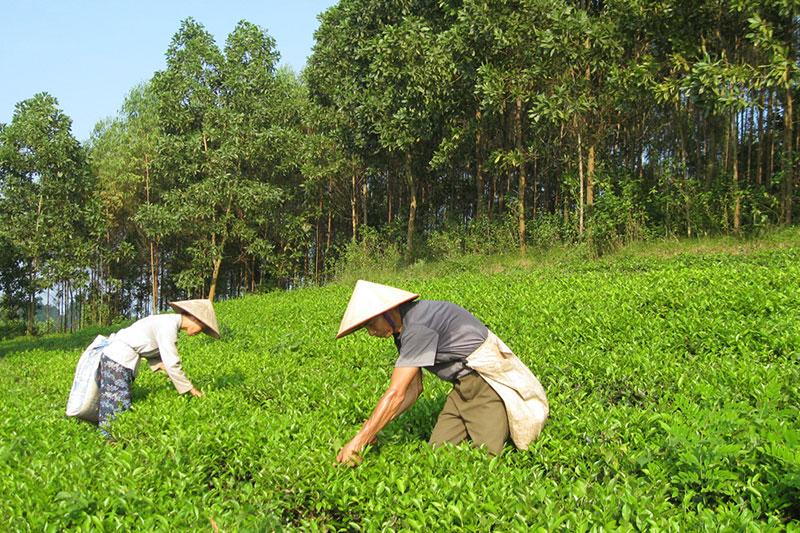 Làng nghề chè Phú Thịnh, Phú Hộ, thị xã Phú Thọ