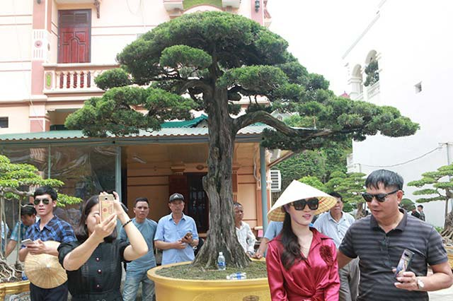 Cây duyên tùng hơn 300 tuổi ở Phú Thọ